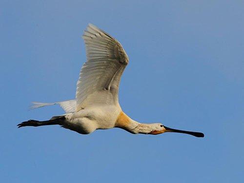 Eurasian Spoonbill in flight