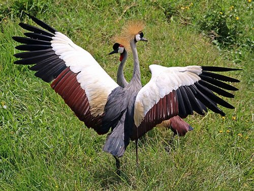 Gray-Crowned Crane feathering