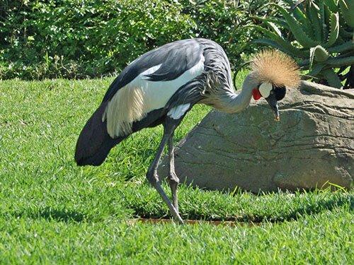 Gray-Crowned Crane habitat