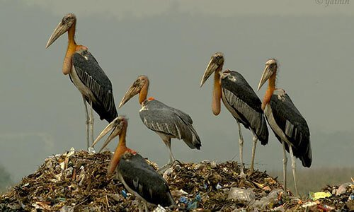 Greater Adjutant habitat