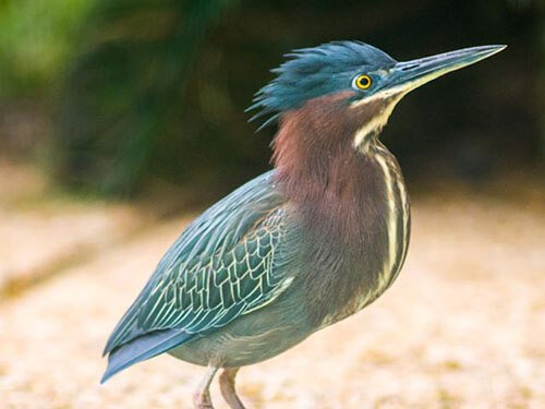 Green Heron closeup