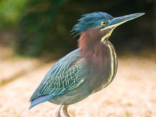 Green Heron closeup