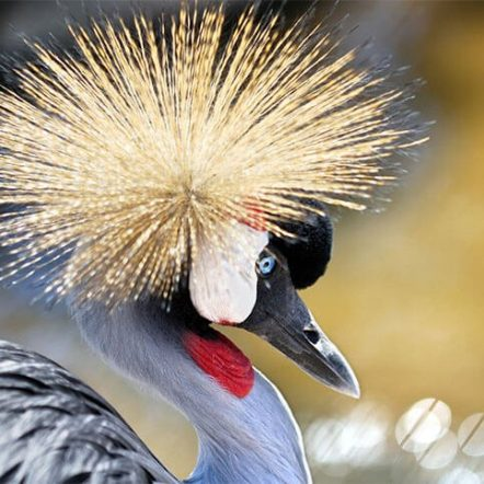 Gruidae Index - Cranes