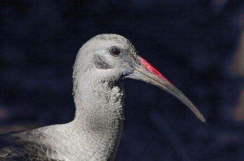 Hadeda Ibis closeup