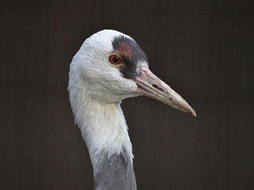 Hooded Crane closeup