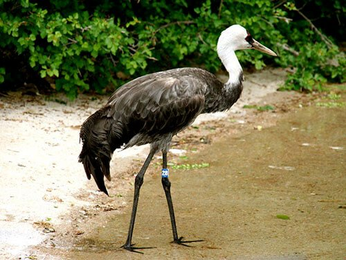Hooded Crane feathering