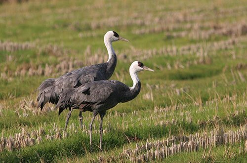Hooded Crane habitat