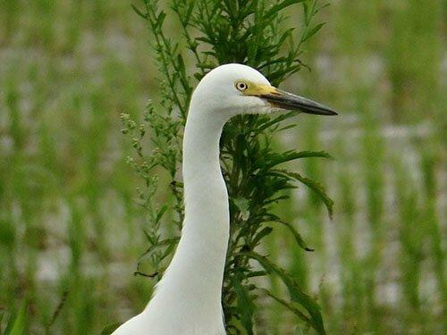 Intermediate Egret closeup