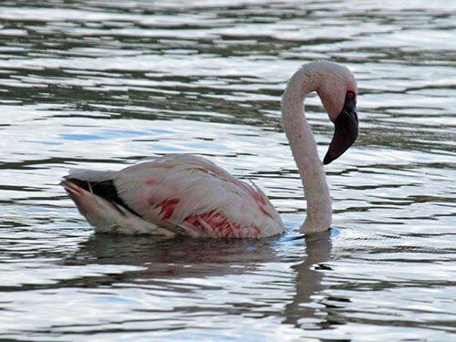 Lesser Flamingo habitat