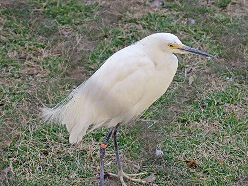 Little Egret closeup