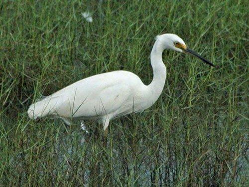 Little Egret on the grass
