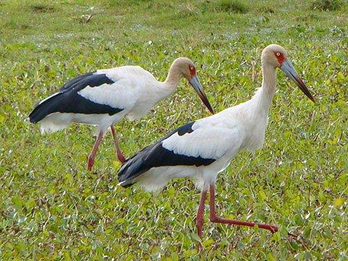 Maguari Stork distribution