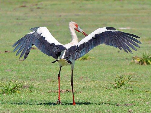 Maguari Stork feathering