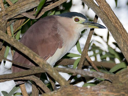 Nankeen Night-Heron habitat