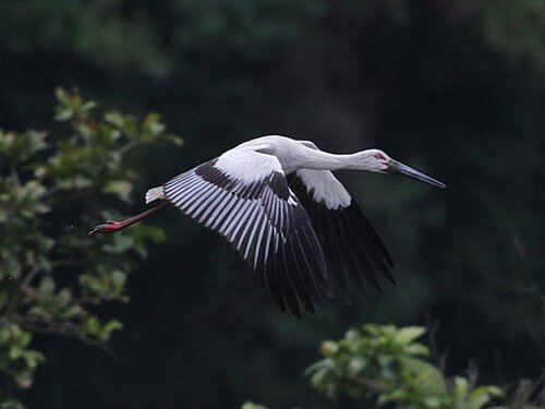 Oriental Stork in flight