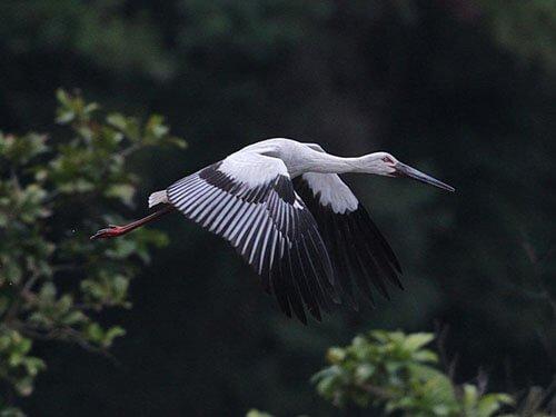 Oriental Stork in flight