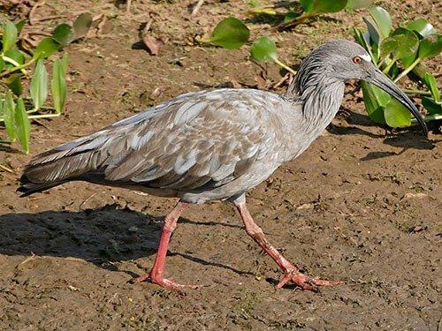 Plumbeous Ibis