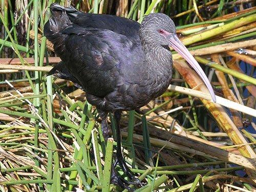 Puna Ibis closeup