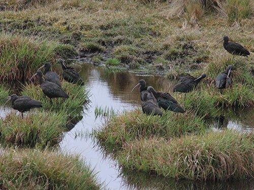 Puna Ibis habitat