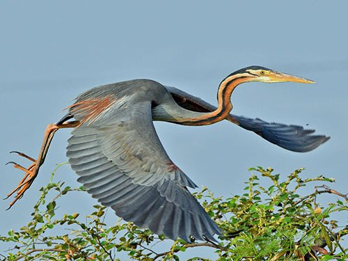 Purple Heron closeup