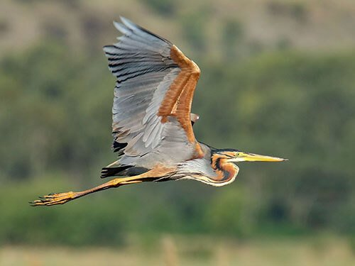 Purple Heron habitat