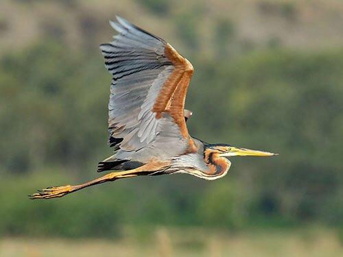 Purple Heron habitat