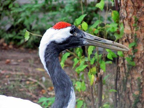 Red-Crowned Crane closeup