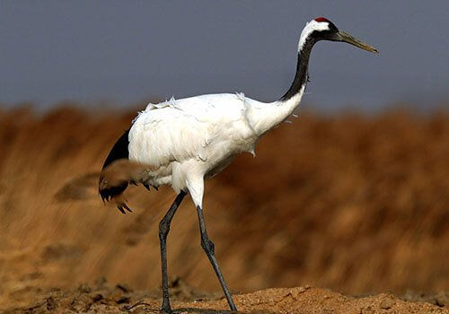 Red-Crowned Crane feathering
