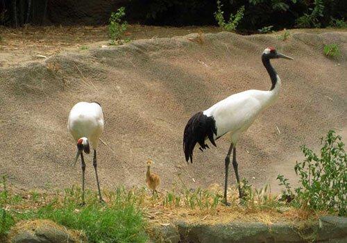 Red-Crowned Crane habitat