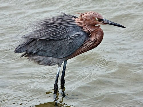 Reddish Egret non-breeding dark morph