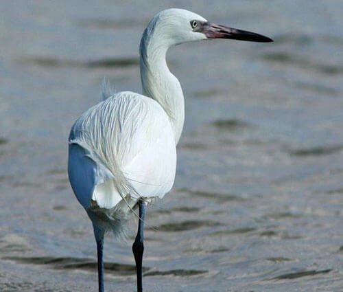Reddish Egret non-breeding white morph