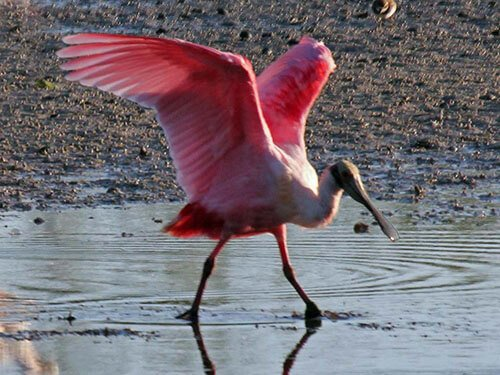 Roseate Spoonbill feathering