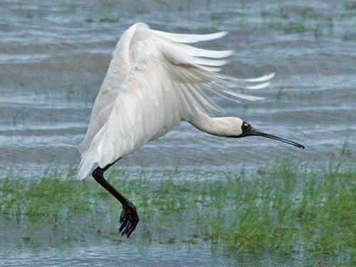 Royal Spoonbill feathering