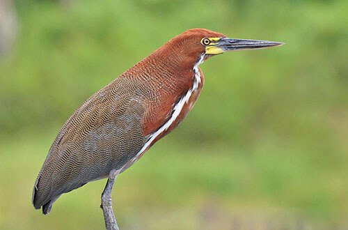 Rufescent Tiger Heron closeup