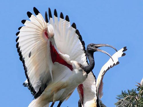 Sacred Ibis feathering