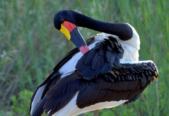 Saddle-Billed Stork habitat
