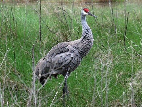 Sandhill Crane habitat