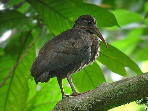 São Tomé Ibis