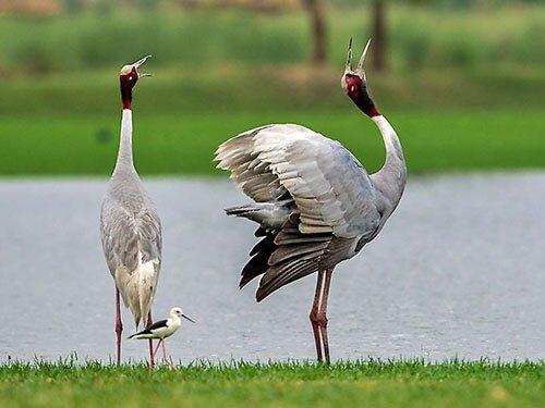 Sarus Crane habitat