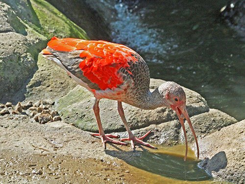Scarlet Ibis near the water