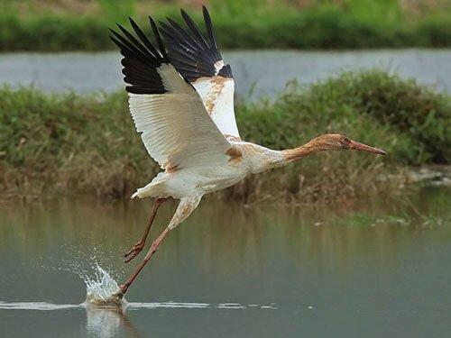 Siberian Crane feathering
