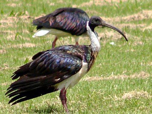 Straw-Necked Ibis habitat
