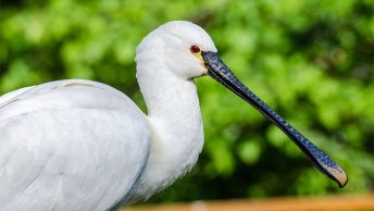 Threskiornithidae Index - Spoonbills And Ibises