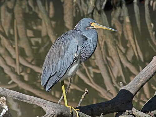 Tricolored Heron adult