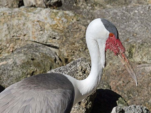 Wattled Crane feathering