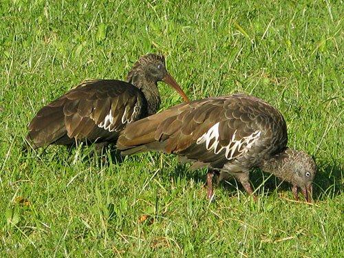 Wattled Ibis habitat