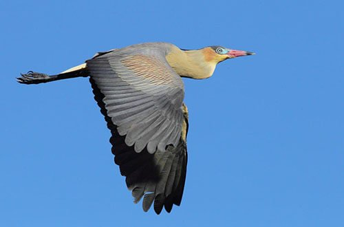 Whistling Heron in flight