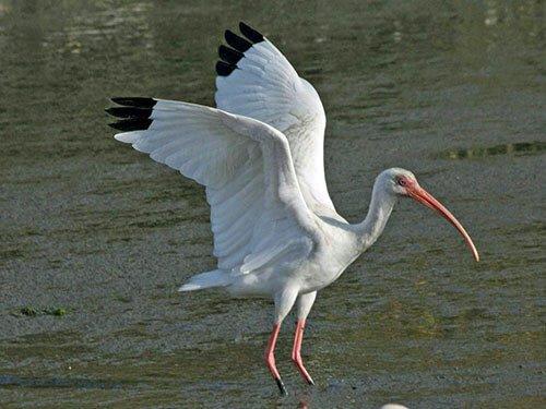 White Ibis feathering