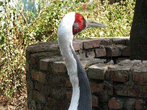 White-Naped Crane description