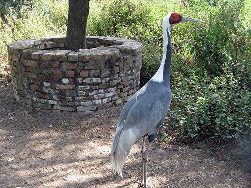 White-Naped Crane habitat